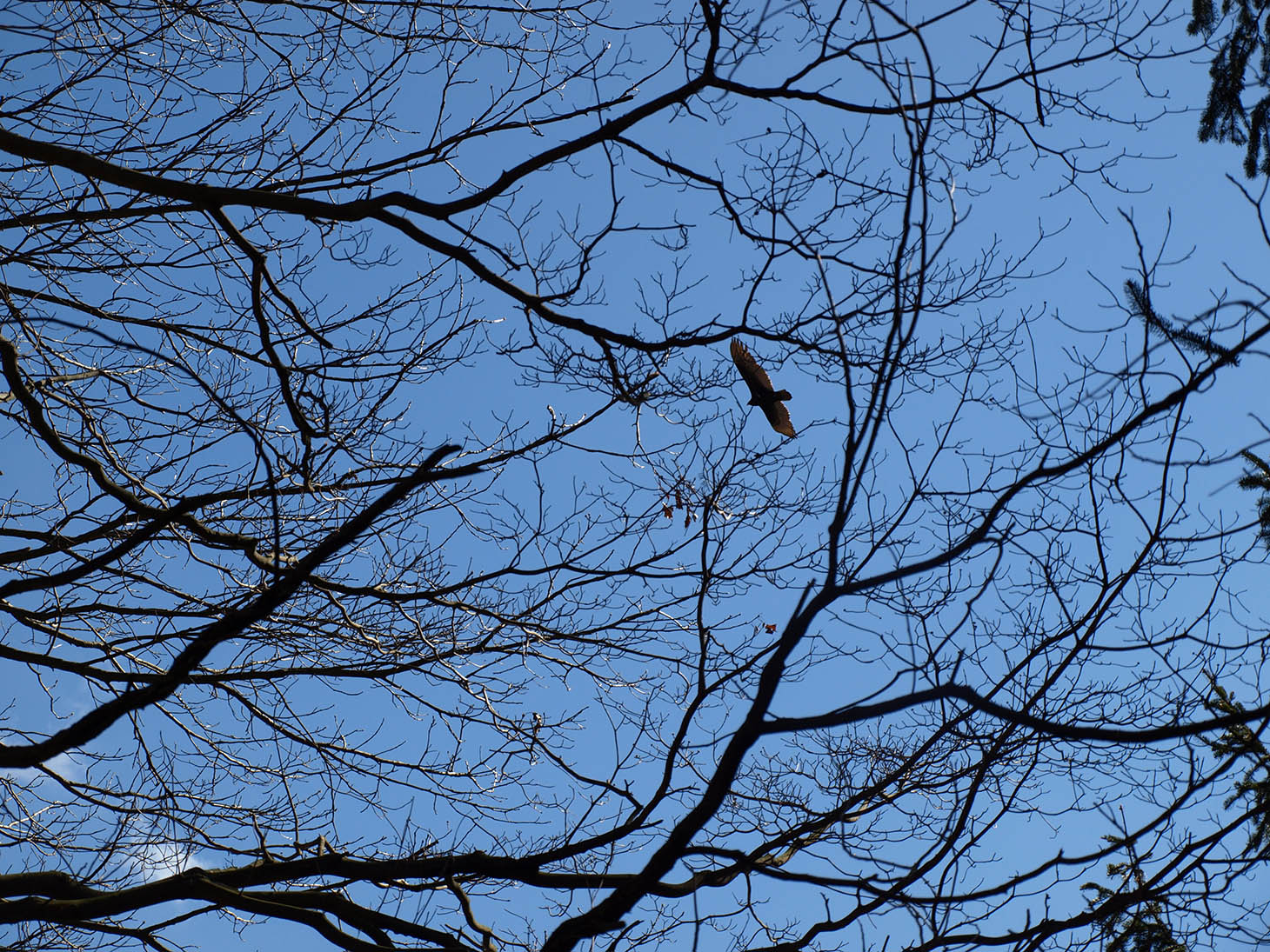 Hawk in Watchung